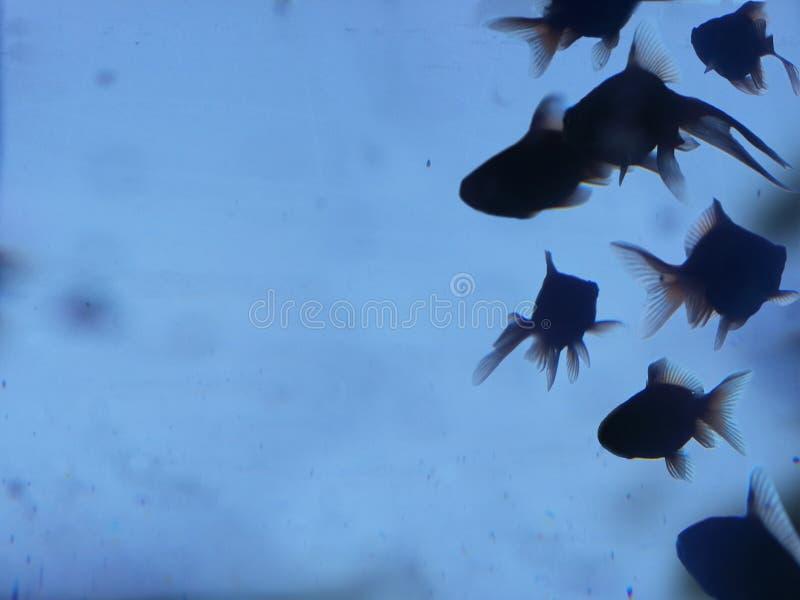 Goldenes Fischschattenbild lizenzfreie stockfotografie