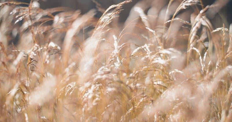 Download Goldenes Flaumiges Gras Mit Sonnenlicht - Verwischen Sie Hintergrund Stockfoto - Bild von effekt, field: 96929538