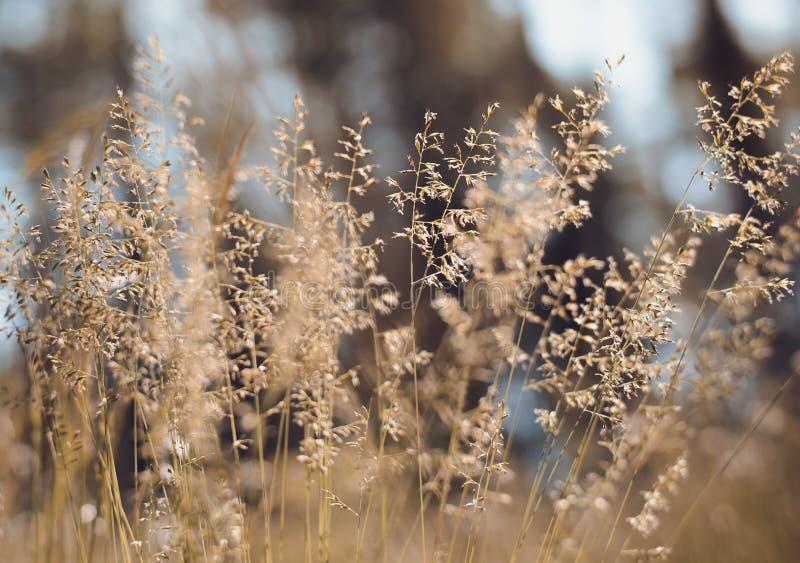 Download Goldenes Flaumiges Gras Mit Sonnenlicht - Verwischen Sie Hintergrund Stockbild - Bild von trocken, blume: 96929593