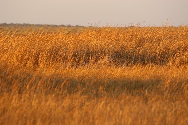Goldenes Gras 01 stockbilder