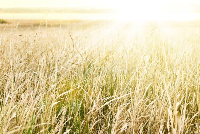 Goldenes Gras in einer Wiese durch den See in den Strahlen eines warmen Sonnenaufgangs stockfotos