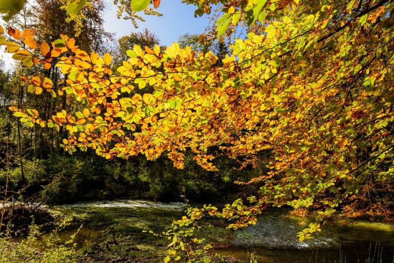 Goldenes Herbstlicht durch die farbigen Blätter im Wald lizenzfreie stockfotos