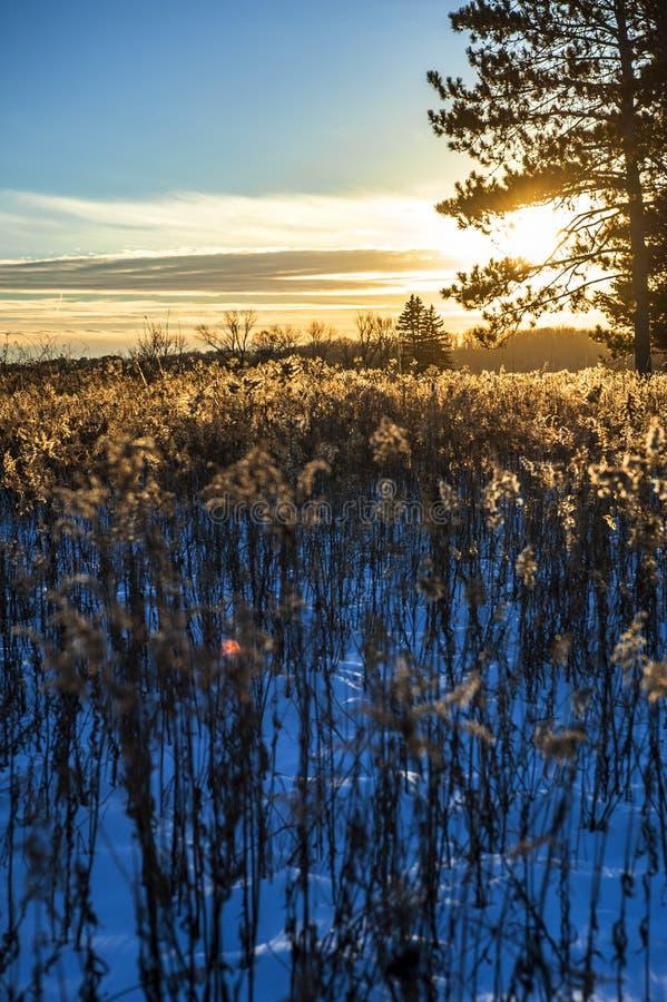 Goldenes hintergrundbeleuchtetes Goldruten-Seedheads lizenzfreie stockfotografie