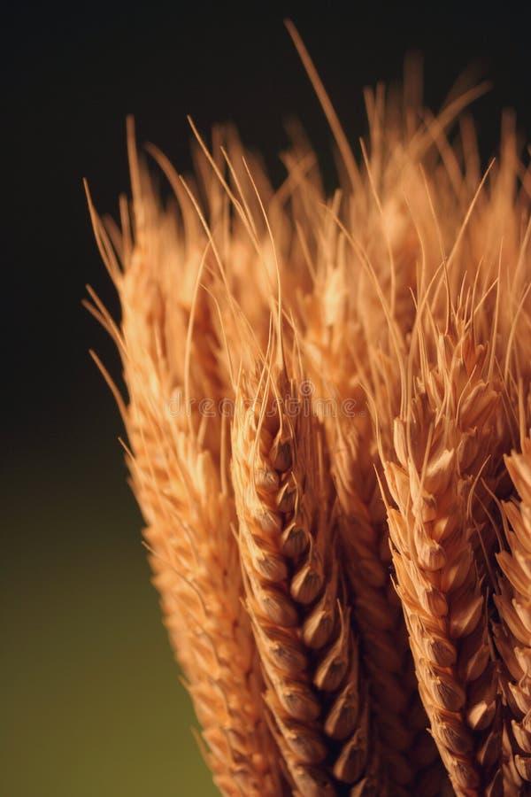 Goldenes Korn stockbild