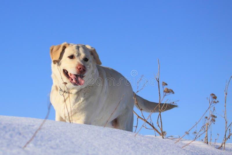 Goldenes Labrador lizenzfreies stockbild