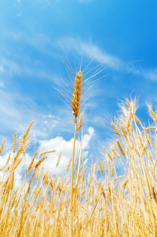Goldenes landwirtschaftliches Feld reife Ernte lizenzfreies stockfoto