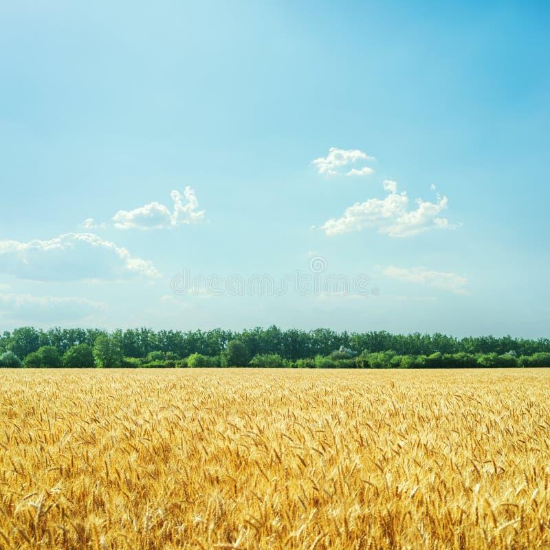 Goldenes Landwirtschaftsfeld und blauer Himmel mit Wolken ?ber ihm lizenzfreie stockbilder