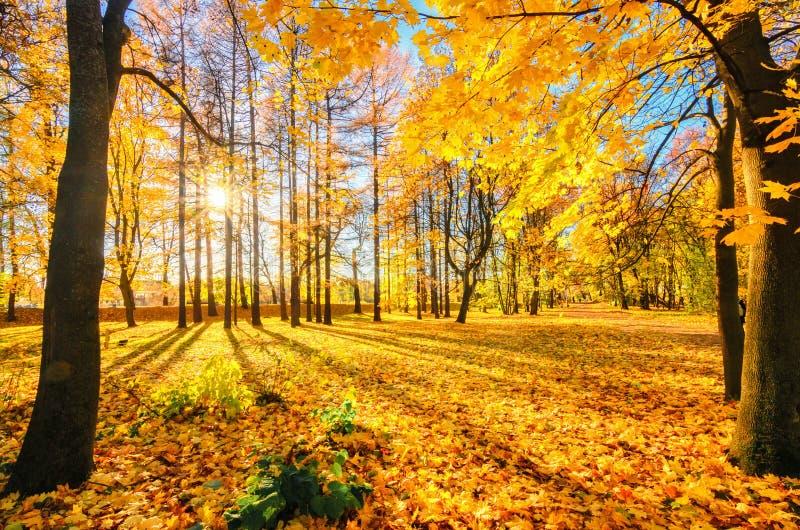 Goldenes Laub in der Herbstpark Elagin-Insel Die Sonne versteckt sich in den Bäumen Die Strahlen der Sonne fallen auf das Gelb stockbilder