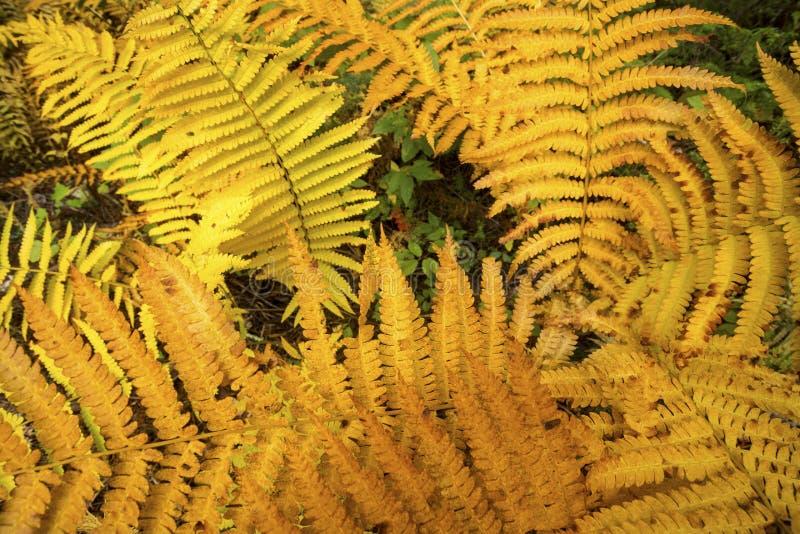 Goldenes Laub von Zimtfarnen in Bigelow-Höhle, Connecticut lizenzfreies stockfoto