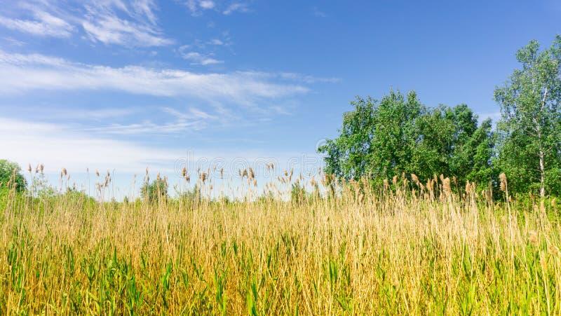Goldenes Reedfeld und bewölkter blauer Himmel stockfotografie