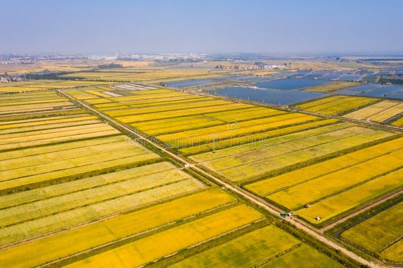 Goldenes Reisfeld im Herbst stockbilder