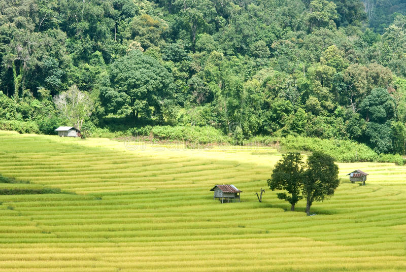 Download Goldenes Reisfeld In Thailand Stockfoto - Bild von field, farbe: 27732136