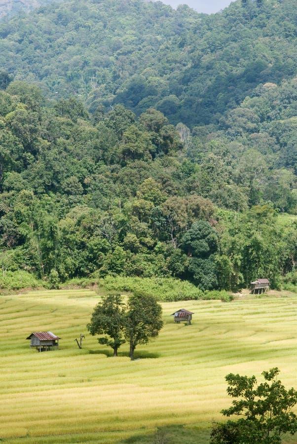 Download Goldenes Reisfeld In Thailand Stockfoto - Bild von bewässerung, östlich: 27732156