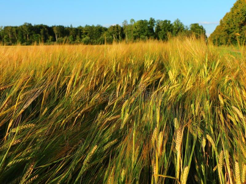 Goldenes Roggenfeld im Sommer lizenzfreie stockfotos