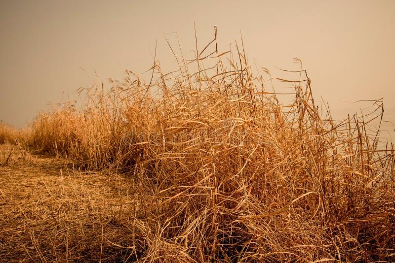 Goldenes Schilf im kalten Winter lizenzfreie stockbilder