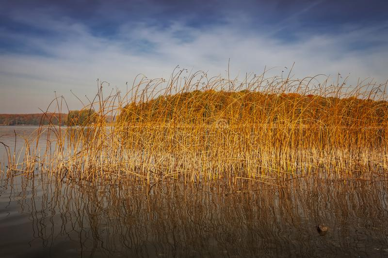 Goldenes Seeschilf stockfotos