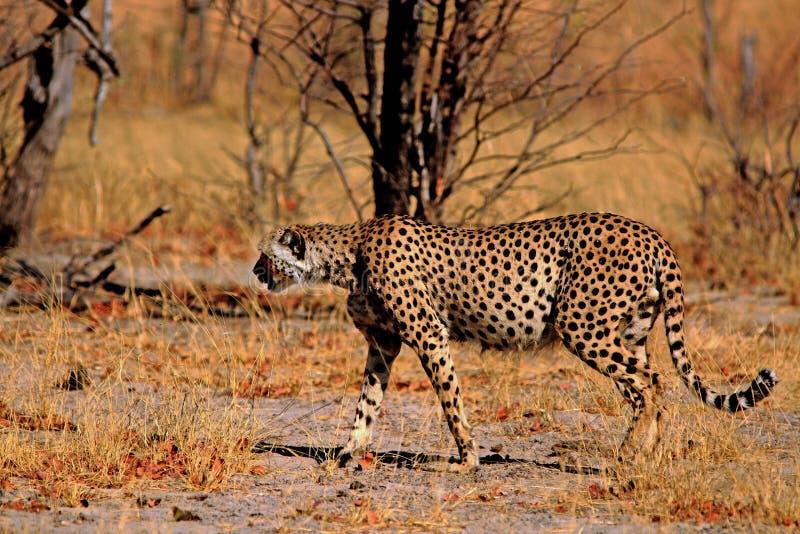Goldenes sonnenbeschienes Bild eines Gepards, der auf die afrikanischen Ebenen - Nationalpark Hwange geht lizenzfreie stockfotos