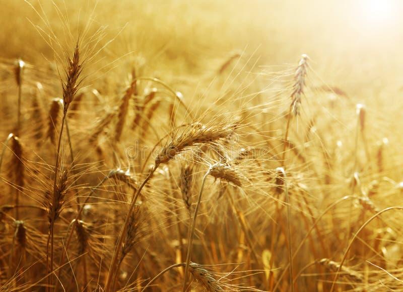 Goldenes Weizen-Feld stockfotos