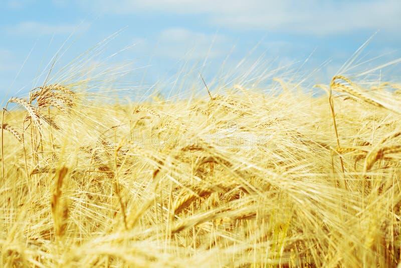 Goldenes Weizenfeld mit blauem Himmel, frische Ernte des Weizens lizenzfreies stockfoto