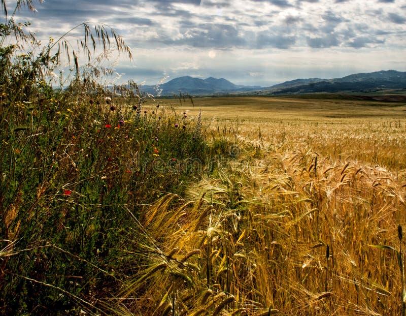 Goldenes Weizenfeld am sonnigen Tag stockfotos