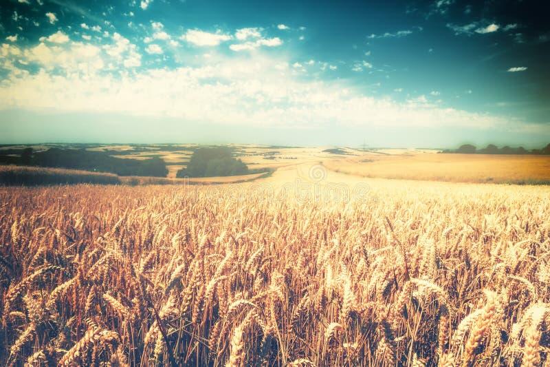Goldenes Weizenfeld am sonnigen Tag Feld des grünen Grases gegen einen blauen Himmel mit wispy weißen Wolken stockfoto