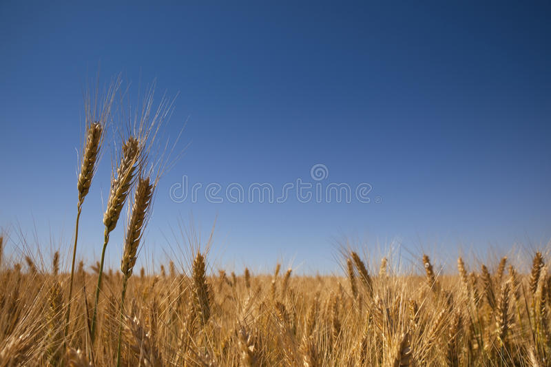 Goldenes Weizenfeld und blauer Himmel lizenzfreies stockfoto