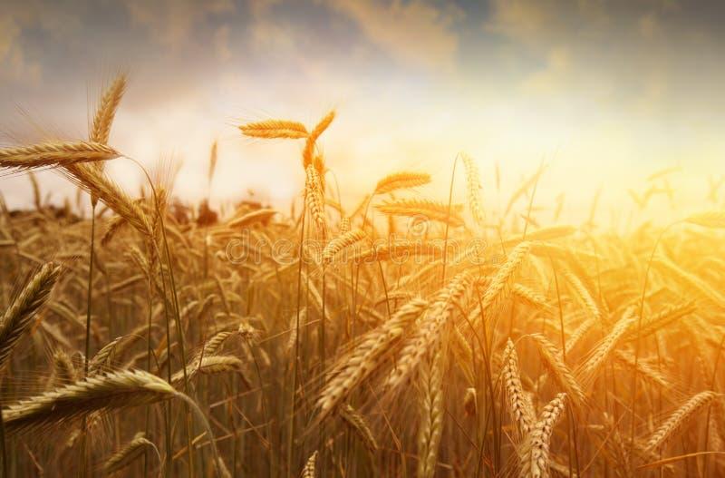 Goldenes Weizenfeld und -sonnenuntergang lizenzfreies stockfoto