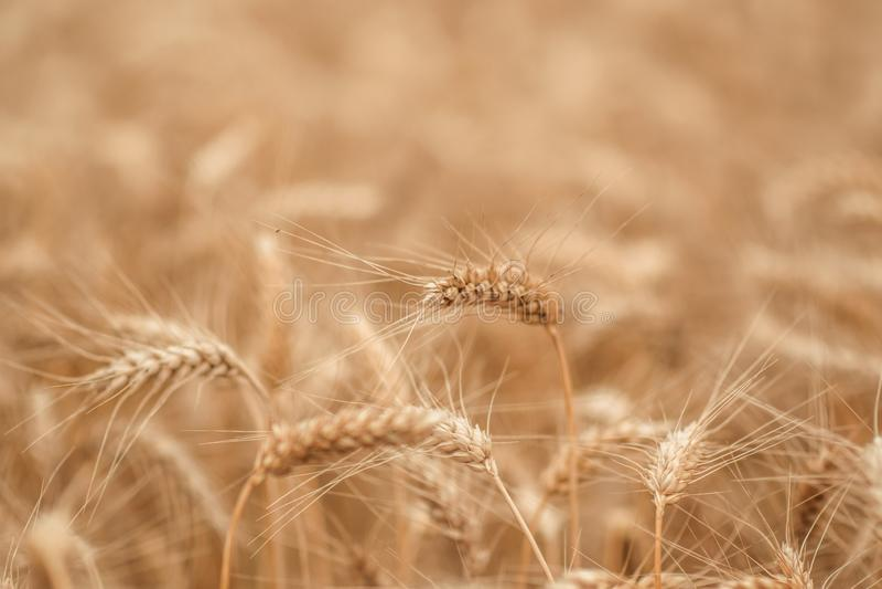 Goldenes Weizenfeld und sonniger Tag stockfotos