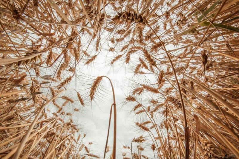 Goldenes Weizenfeld und sonniger Tag lizenzfreies stockfoto
