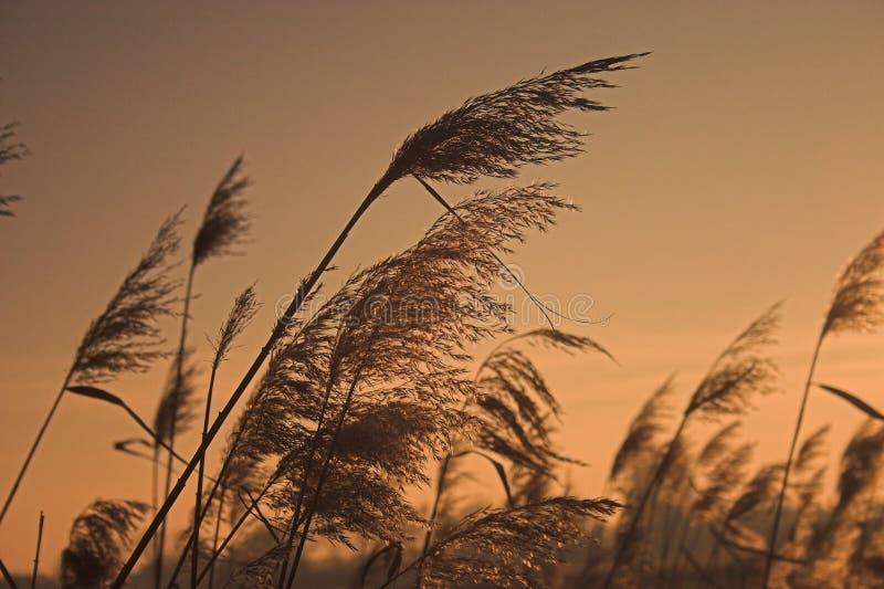 Goldenes Winter-Schilf lizenzfreie stockbilder