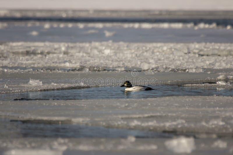 Goldeneye en agua helada fotografía de archivo libre de regalías