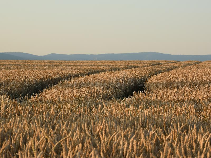 Goldenfield with wheat in north bohemia with Ore mountains on horizon on 30th june 2019 royalty free stock images