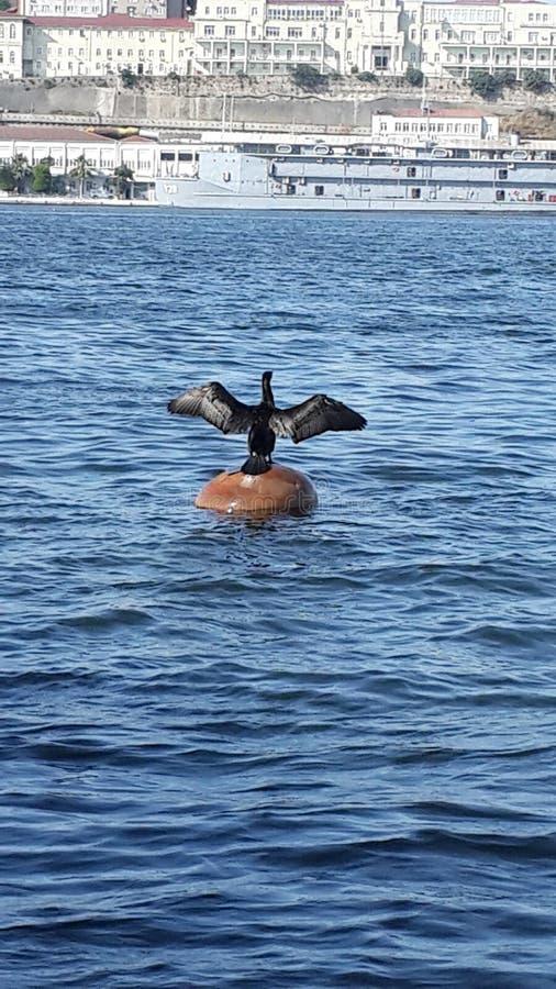 Goldenhorn seabird fotografering för bildbyråer