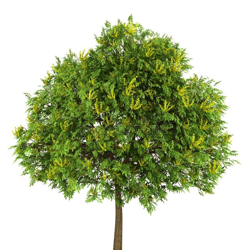 goldenrain查出的结构树白色 库存例证