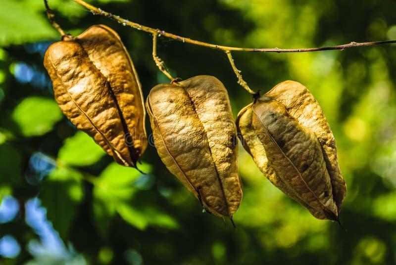 Goldenrain-Baum stockfotos