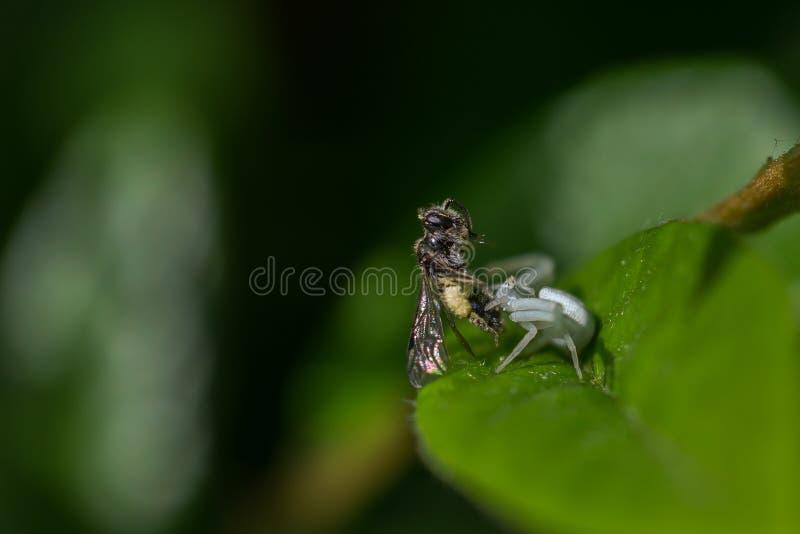 Goldenrod паук краба стоковое фото rf