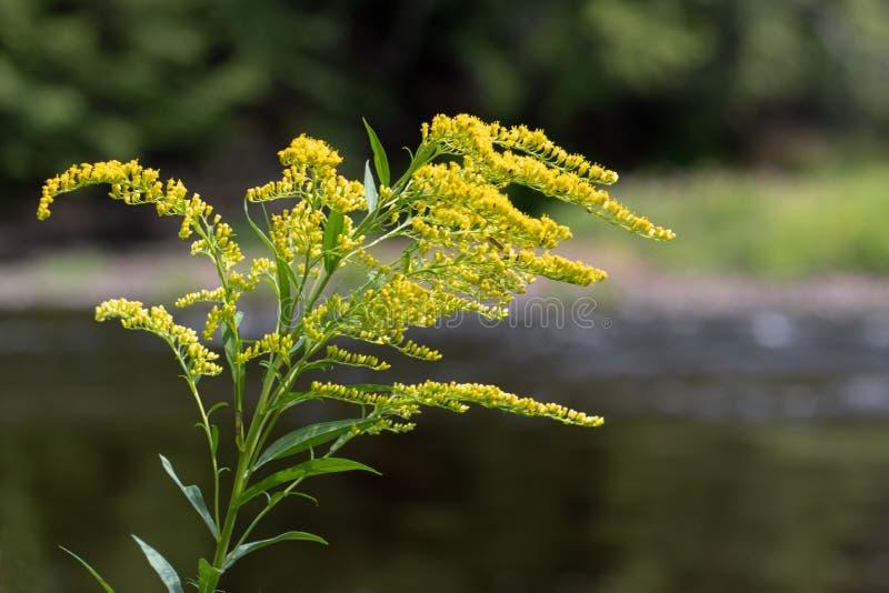Goldenrod рекой стоковые фотографии rf