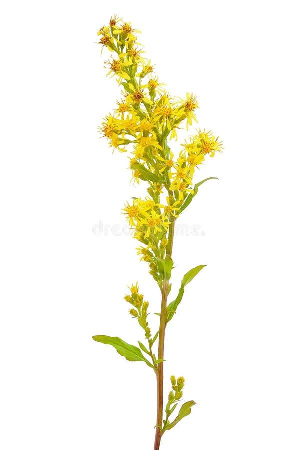 Goldenrod (цветок virgaurea Solidago) стоковое фото