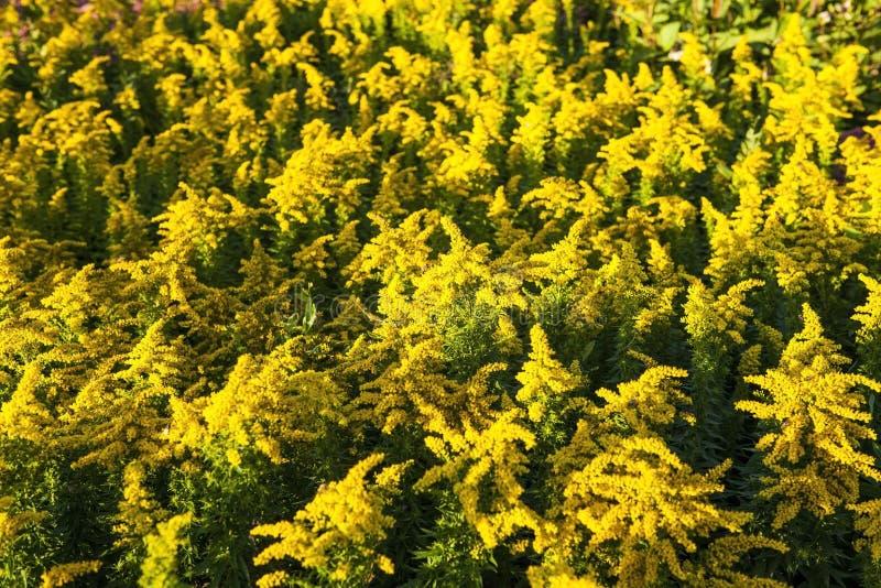 goldenrod royalty-vrije stock fotografie