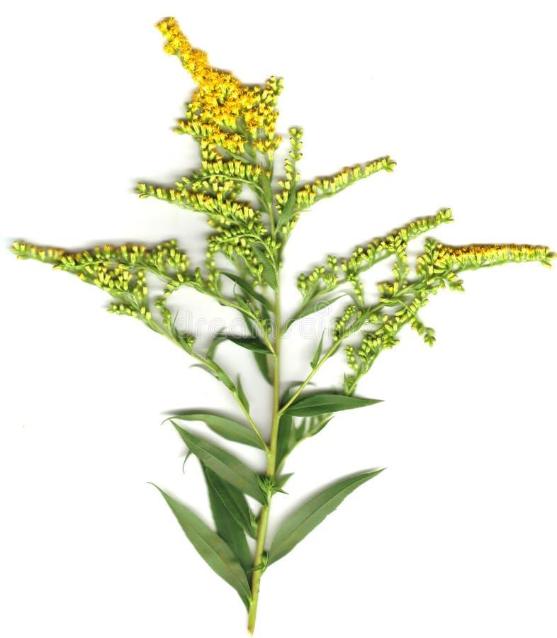 goldenrod стоковое изображение