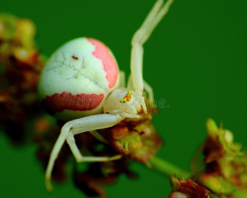 Goldenrod Crab Spider stock images