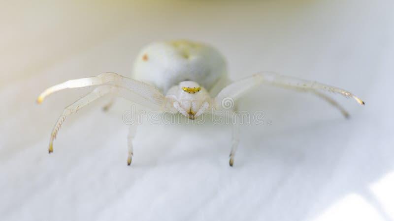 Goldenrod Crab White Spider, een perfect predator die weggaat in een Calla Lily-tuinbloem stock afbeelding