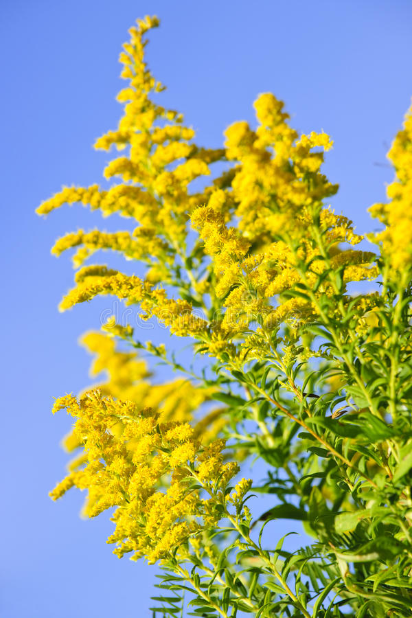 Planting Goldenrod In The Garden: Goldenrod Plant Stock Photography