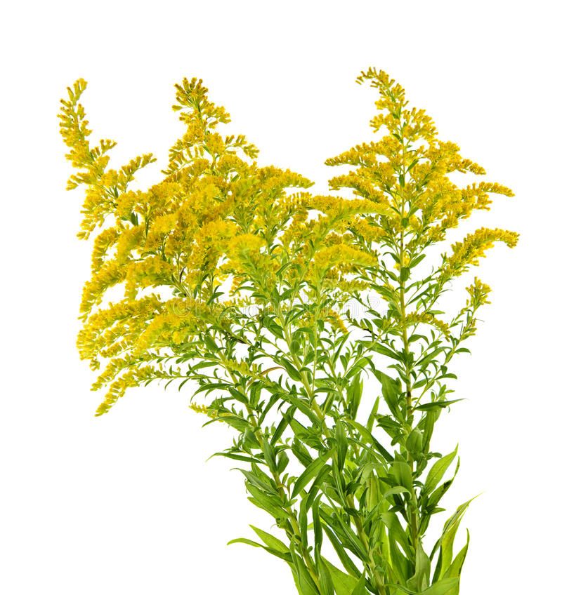 Goldenrod plant royalty free stock photo