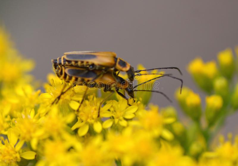 Goldenrod Soldier Beetles royalty free stock photo