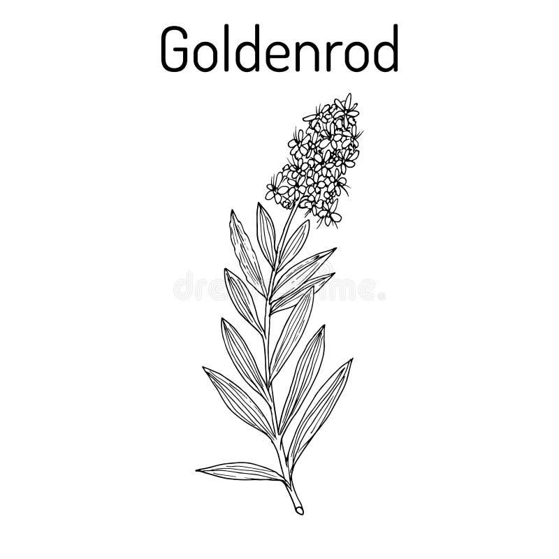 Free Goldenrod Solidago Virgaurea , Or Woundwort, Medicinal Plant Royalty Free Stock Photography - 104156307