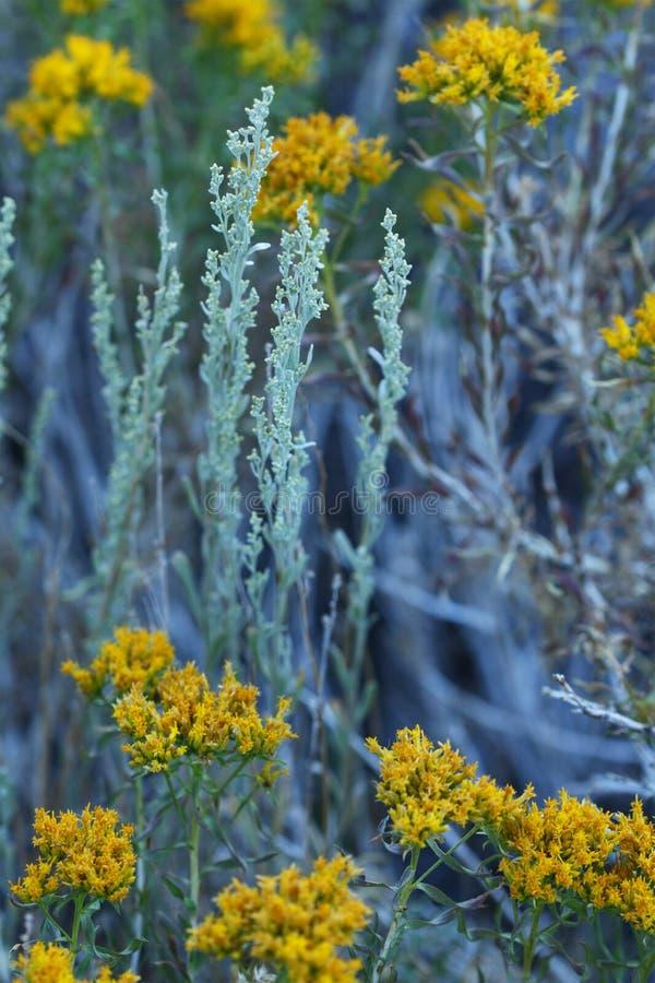goldenrod tła mędrca zdjęcie stock