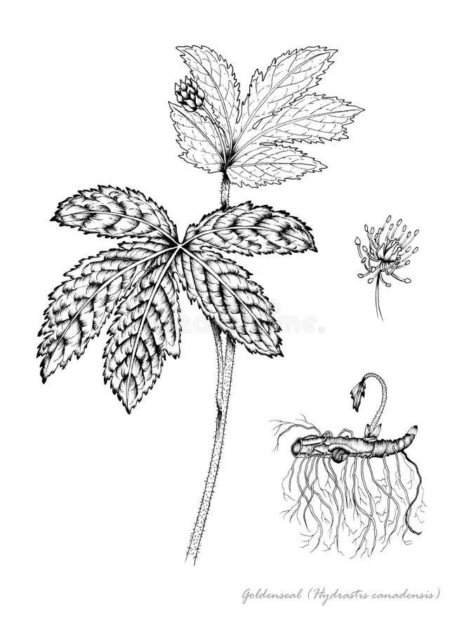 Goldenseal vector illustratie