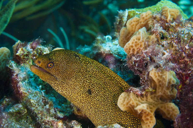 Goldentail moray royalty free stock photography