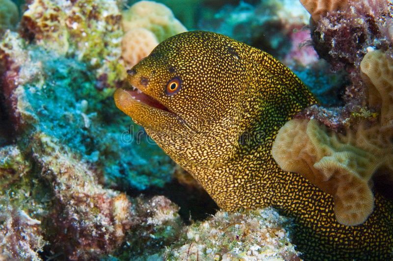 Goldentail moray stock image
